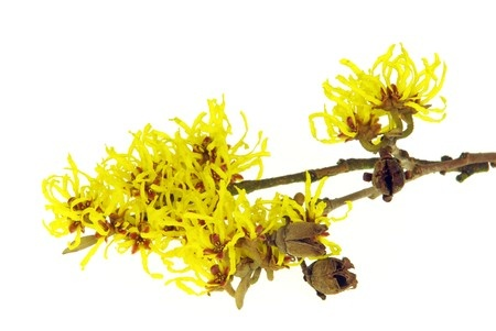 Witch Hazel Herpes Treatment Natural Remedy