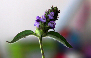 prunella vulgaris herpes remedy