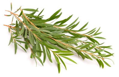 Tea Tree Oil HSV